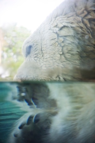 Polar Bear split shot